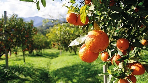 ประโยชน์ สรรพคุณของส้ม