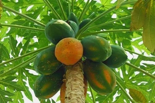 มะละกอ-สมุนไพรรักษาโรคกระเพาะปัสสาวะอักเสบ
